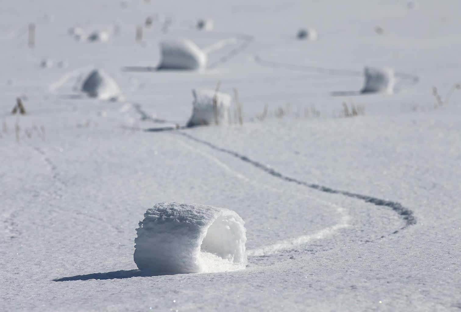 THOUSANDS of snow rollers formed in my county this last week. Click the link to see more photos and what causes them.