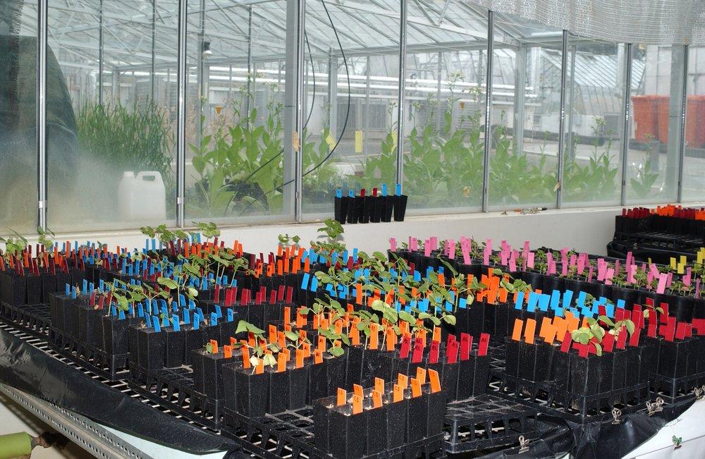 Plántulas de algodón en un cultivo de prueba en los invernaderos de la planta industrial de CSIRO en Black Mountain, ACT. Foto:Carl Davies  (CSIRO, Australia)