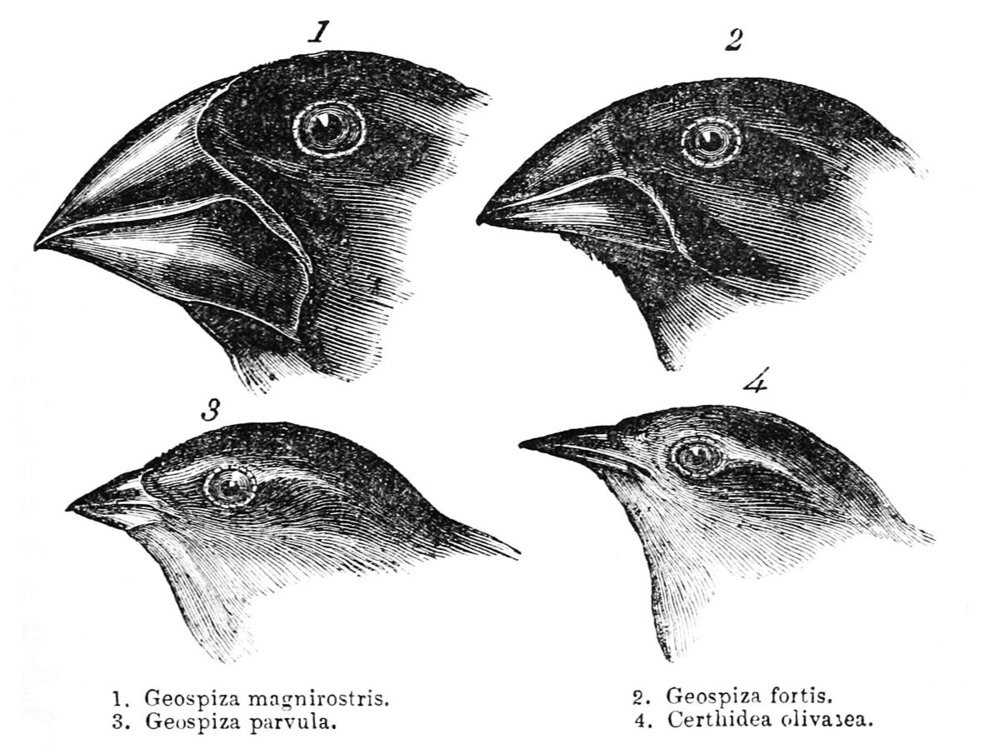 Fig 1. Darwin's finches, as depicted in 'On the Origin of Species' (1859).
