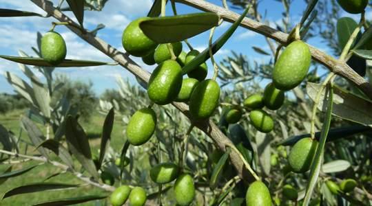 devon-siding-green-olives.jpg