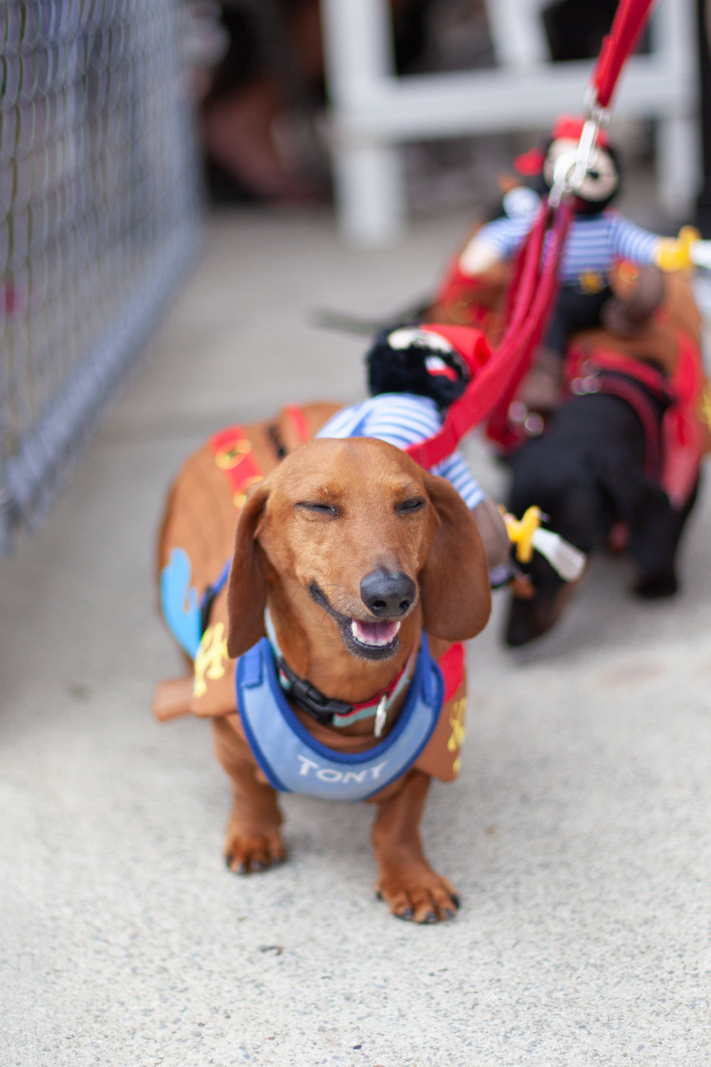 Tony, the pirate dachshund - Photo by Chloe Jordan Design