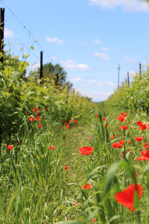 Coltivando le vigne con amore e secondo il metodo biologico, i fiori e gli insetti vivono in armonia tra i filari.