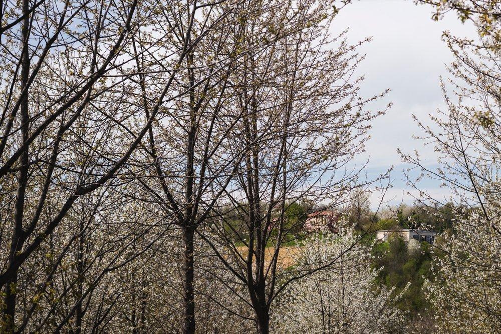 I ciliegi da Legno nel mese di aprile regalano uno spettacolo meraviglioso.