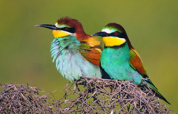Gruccioni - migrano dall'Africa per vivere l'estate nel nostro rigoglioso Bosco - credito foto - wikipedia