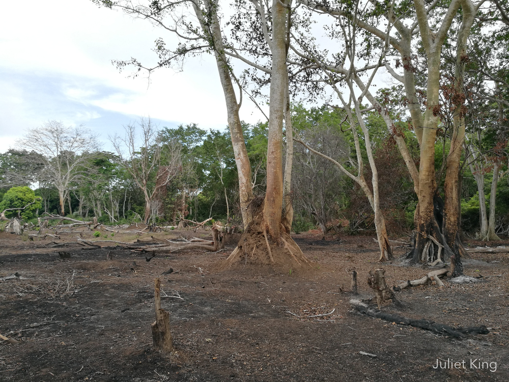 Forest destruction for agriculture, Ndera Conservancy