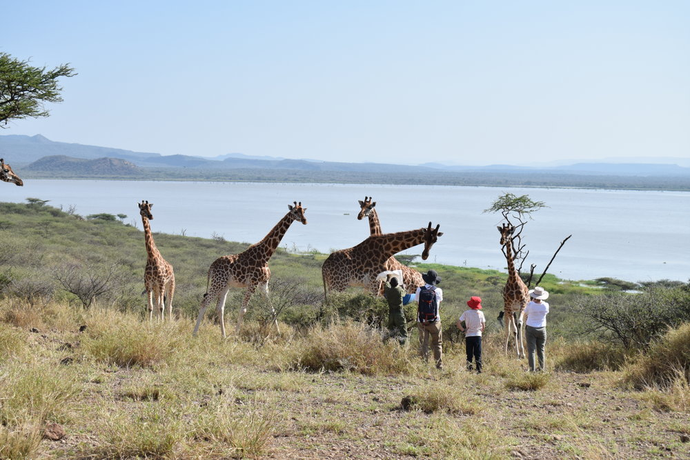 Tourists at Ruko Community Conservancy's Giraffe Island. During times of harsh drought the giraffes receive supplementary feed, and have inevitably become accustomed to humans. Photo: Ivy Wairimu.