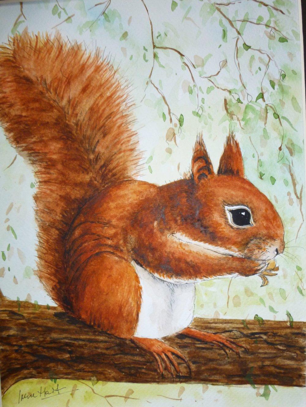 230 Red Squirrel.JPG