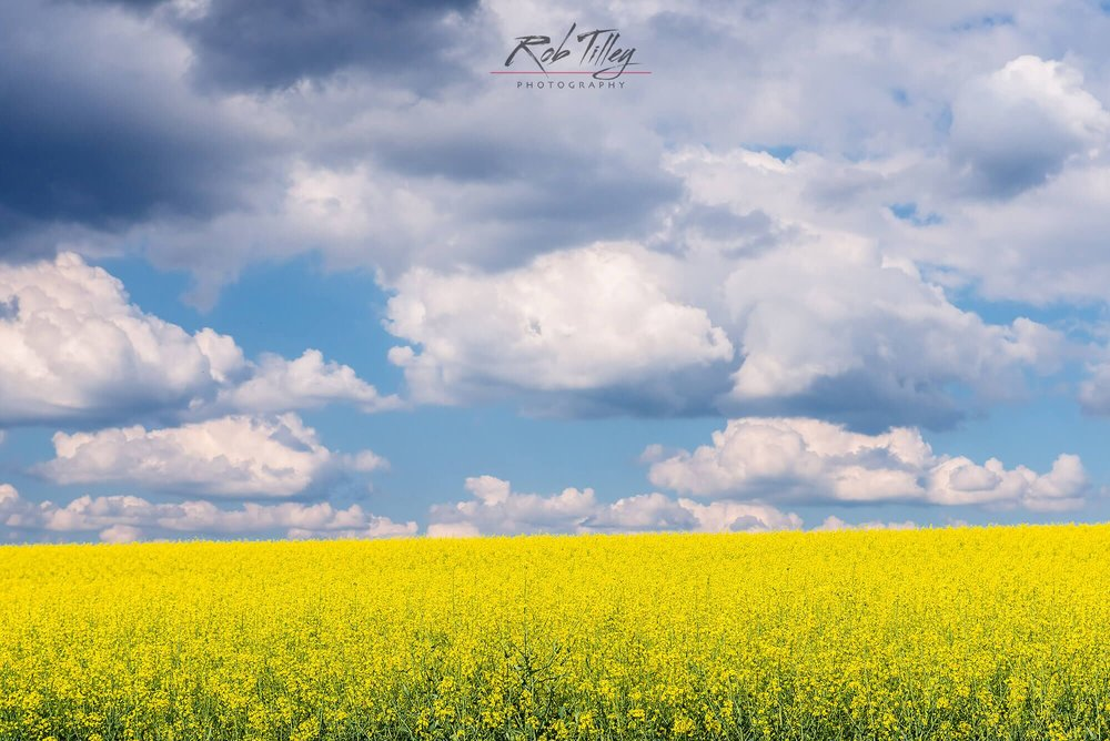 Canola & Clouds