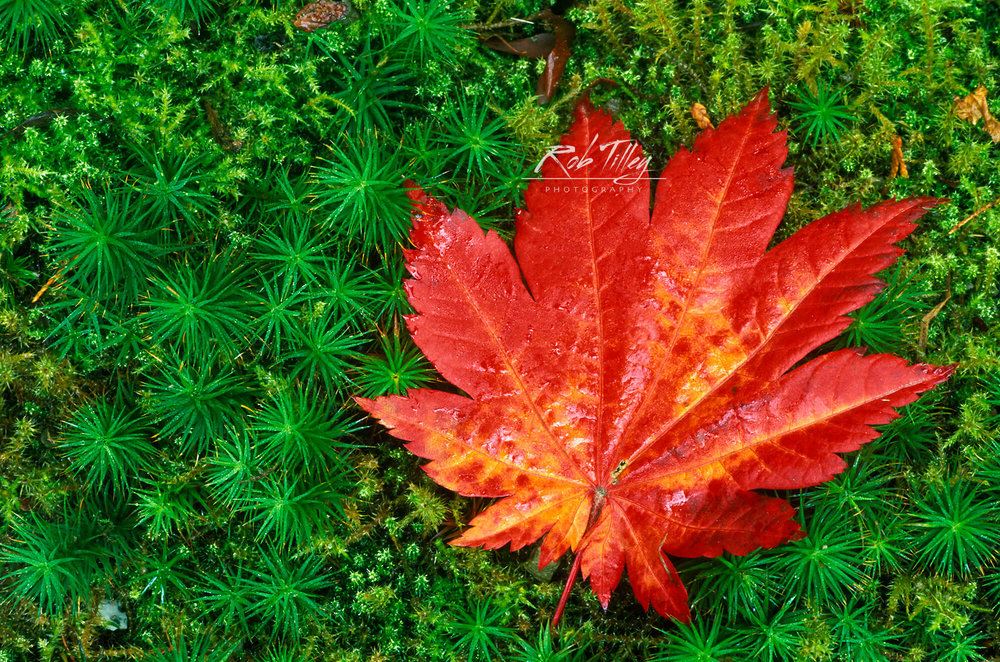 Japanese Maple Leaf on Moss