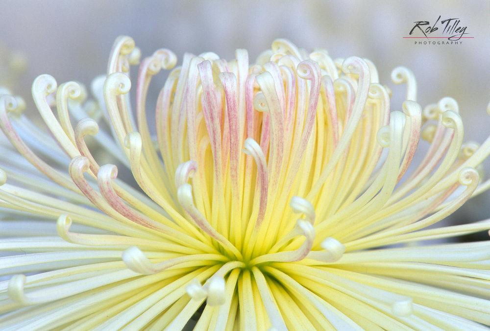 Crysanthemum I.jpg