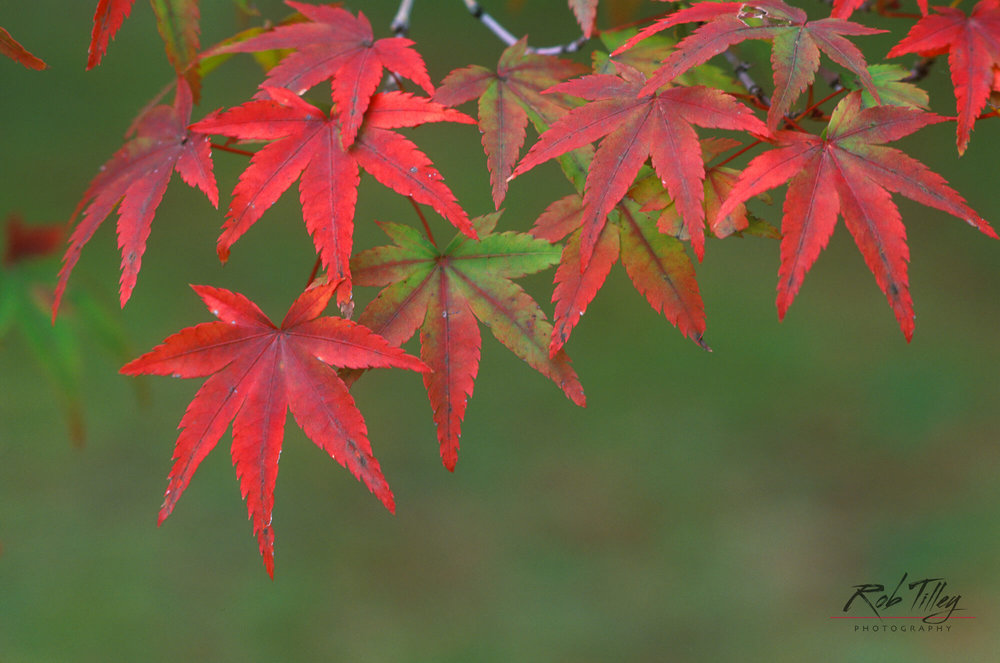 Japanese Maple Leaves.jpg