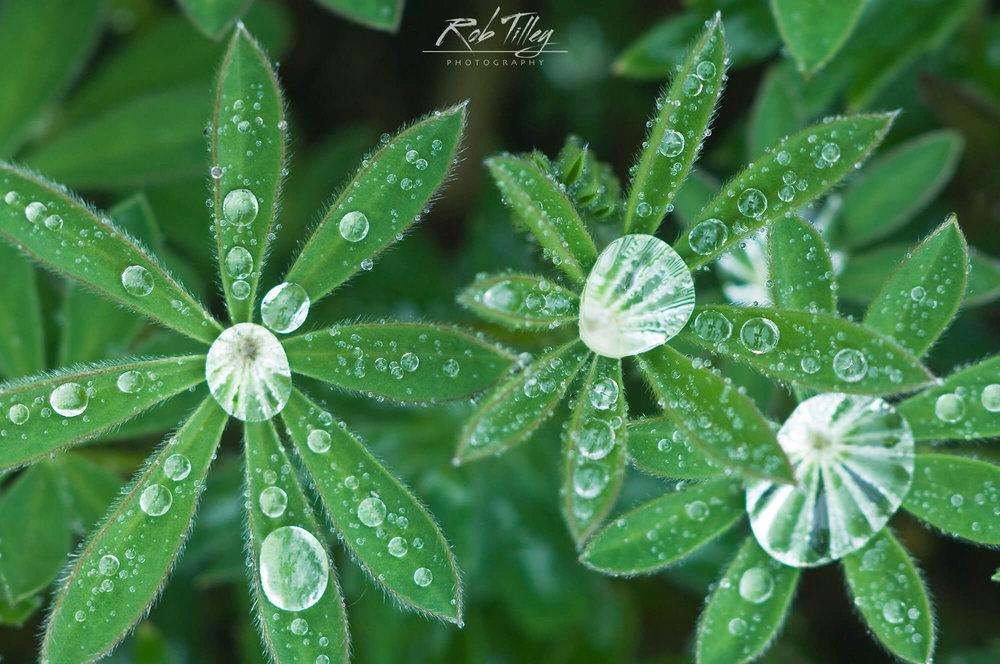 Water Drops on Lupine Leaves II.jpg