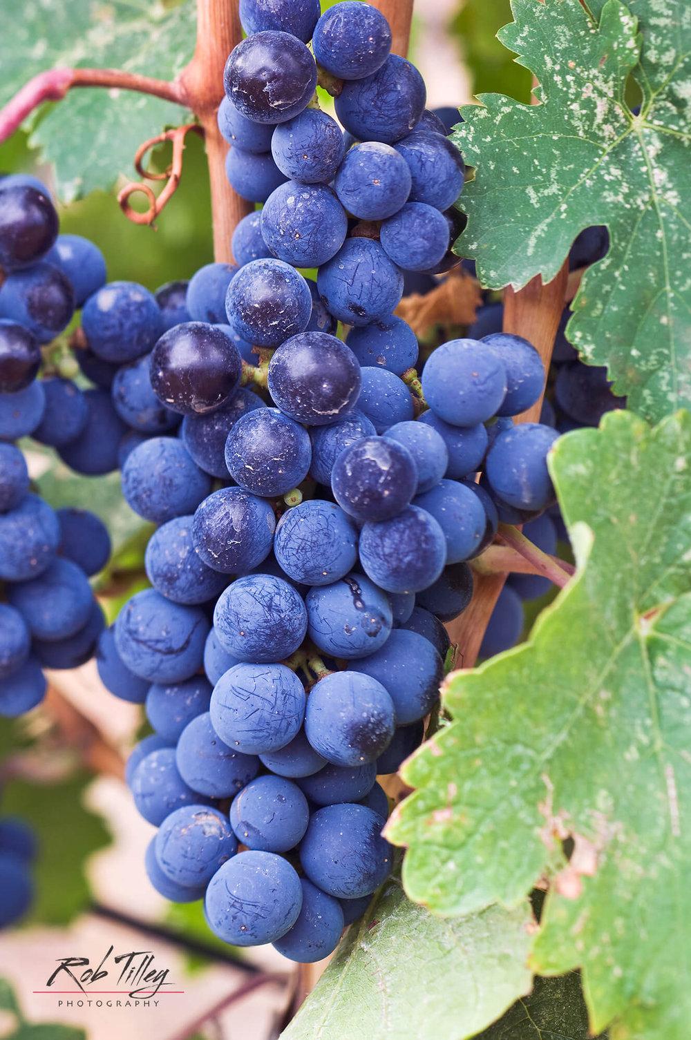 Cabernet Franc Grapes.jpg