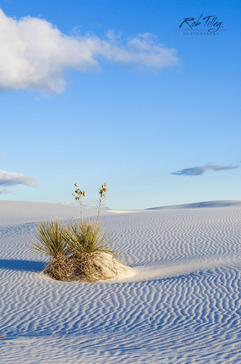White Sands Yucca II