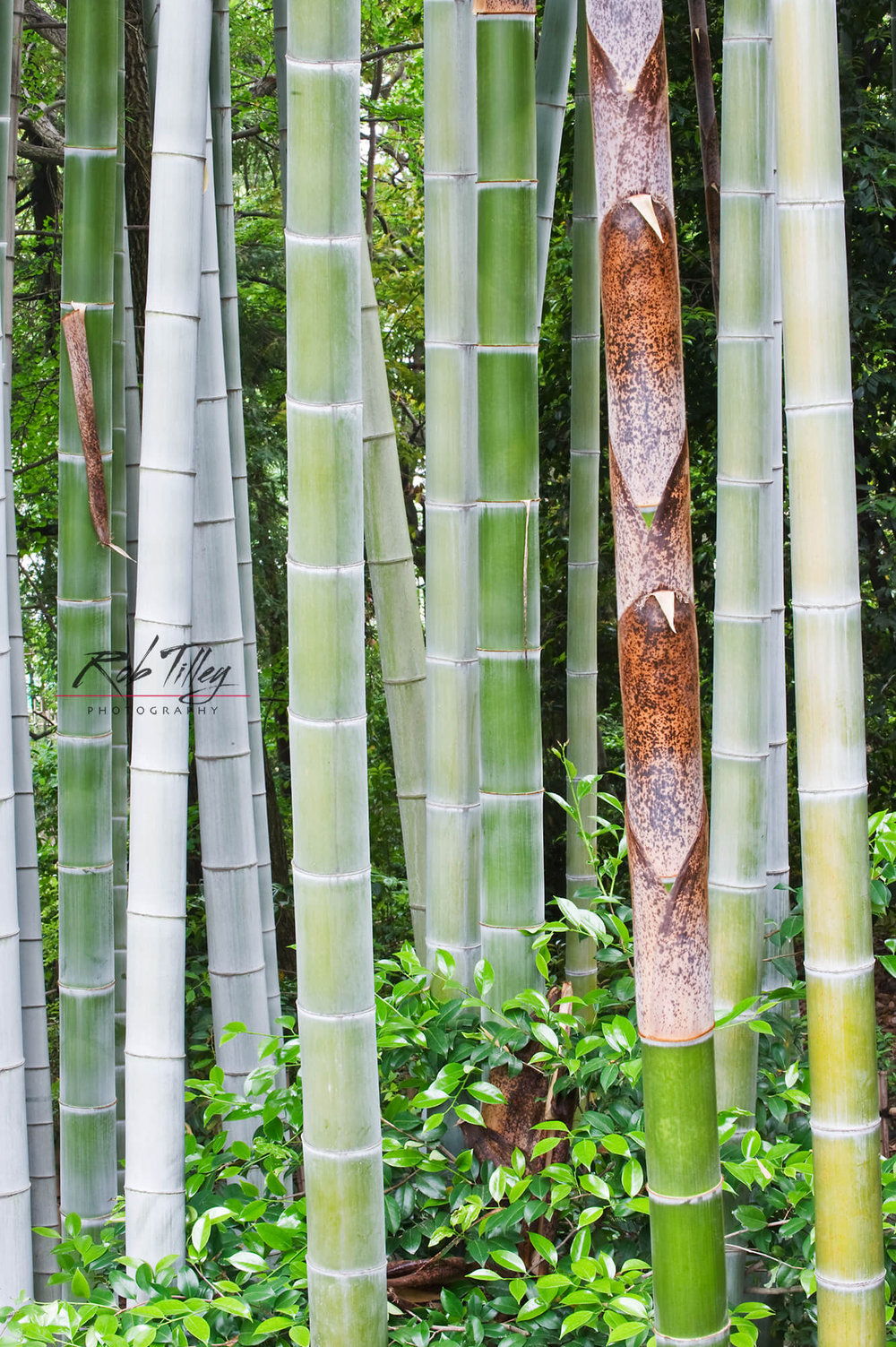 Bamboo Grove.jpg