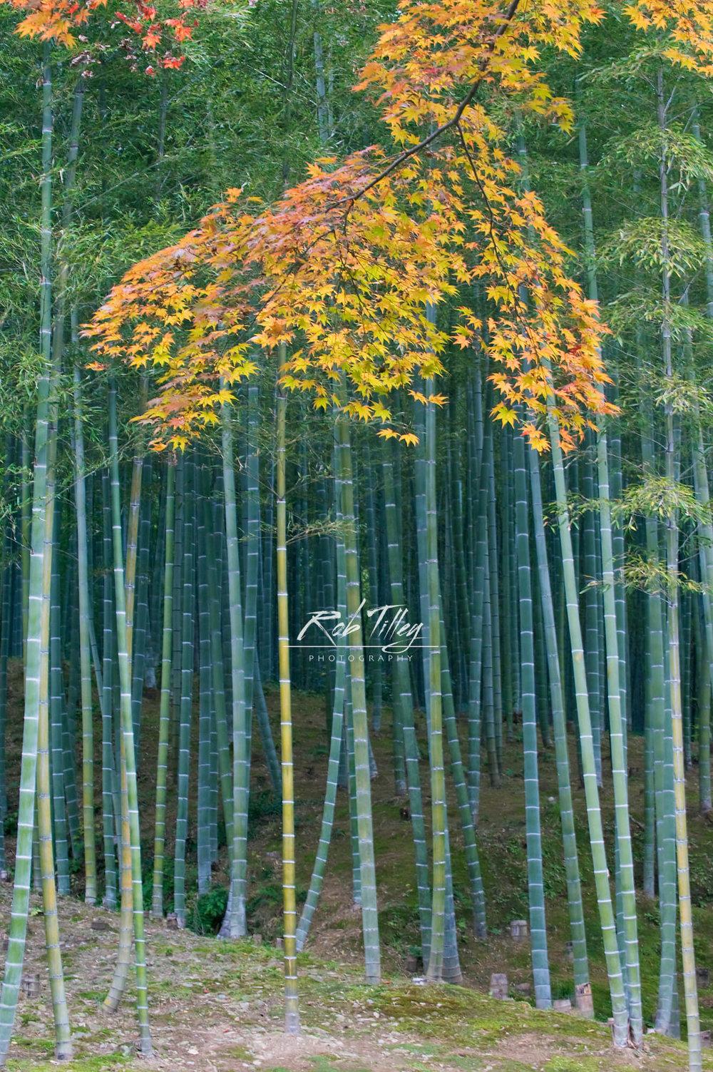 Autumn Bamboo Grove