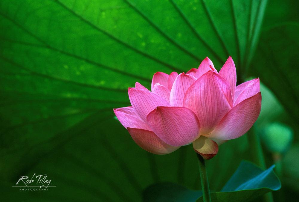 Ohga Lotus I
