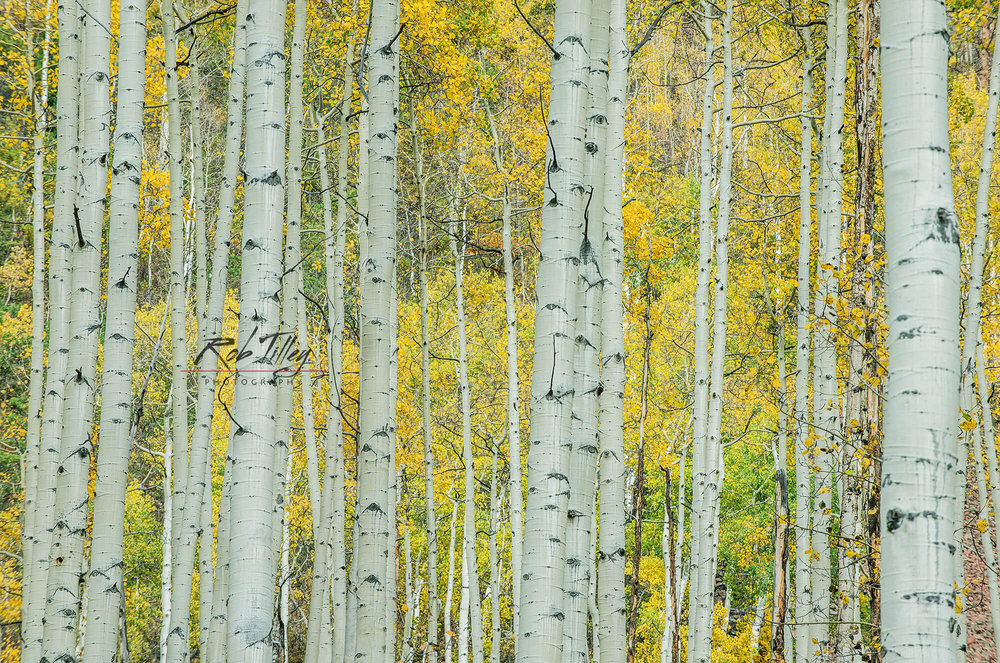 Aspen Trunks II