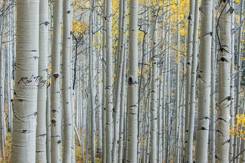Aspen Trunks IV