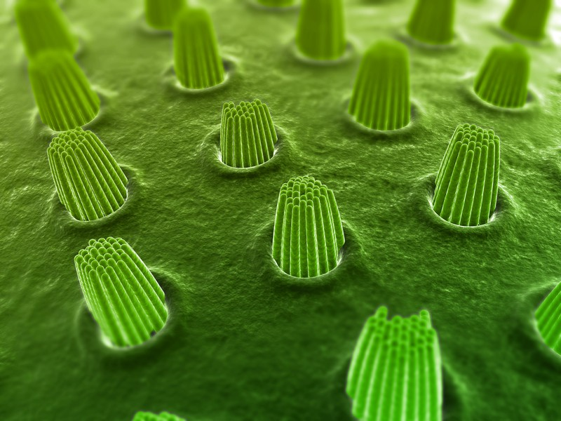 Inner Ear Hair Cells.jpg