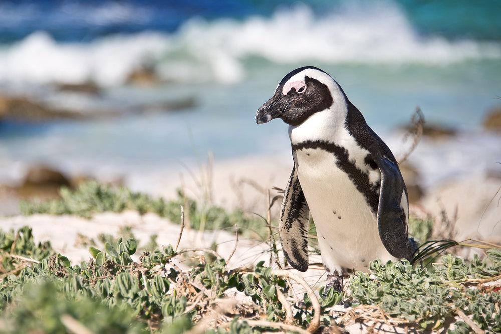 Pinguino a Boulders Beach