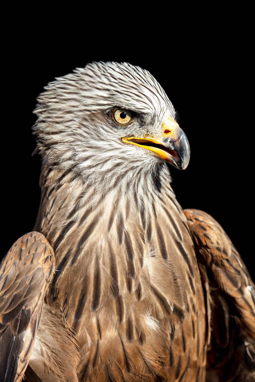 Erne Sea Eagle (fotografia scattata con luce naturale allo zoo di Madrid)