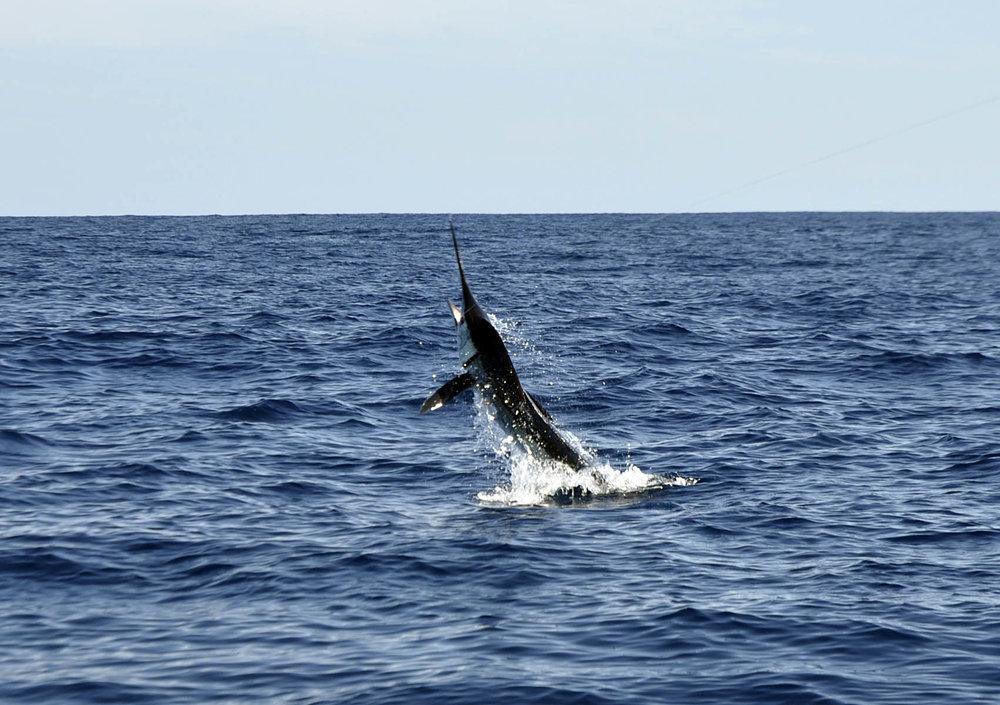 marlin-jumping.jpg