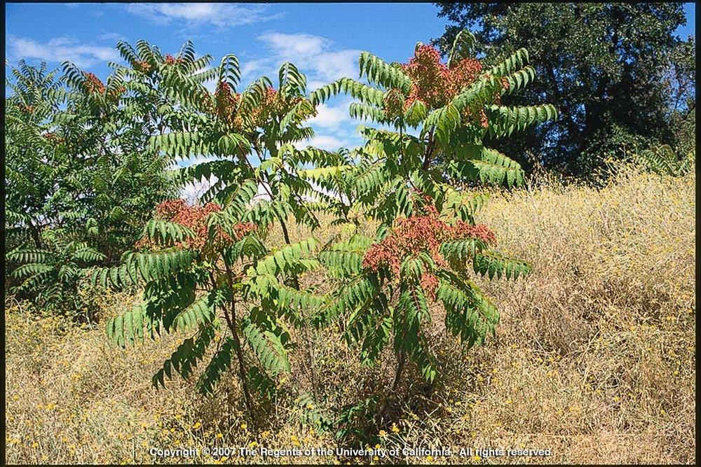 Ailanthus (Tree-of-heaven) - Photo: Joseph DiTomaso