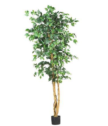 6 feet ficas tree