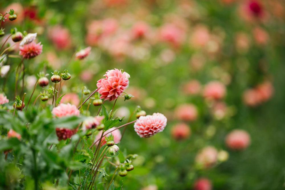 pink dahlias grown at oz farm on the coast of northern california