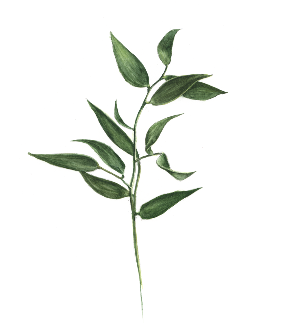 Eucalyptus artwork 2.png