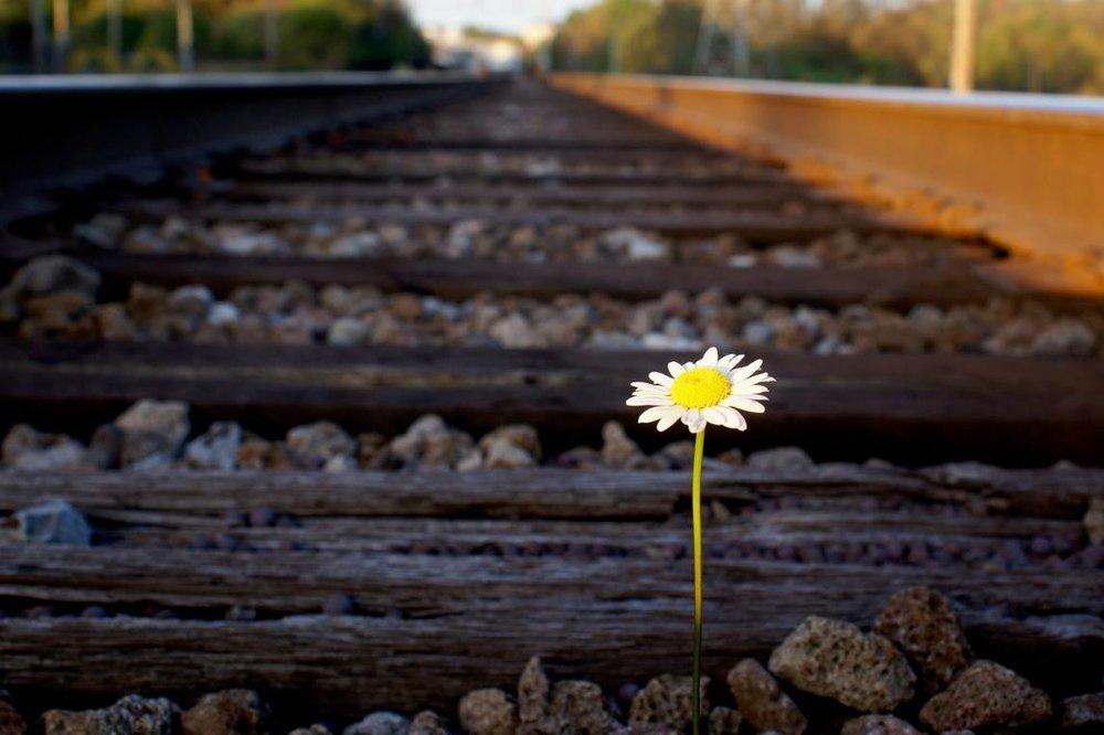 daisy-on-railroad-track.jpg.1145x0_q71_crop-scale.jpg