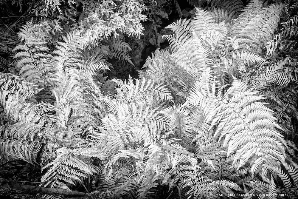 Ferns study in infrared by Robert Burcul