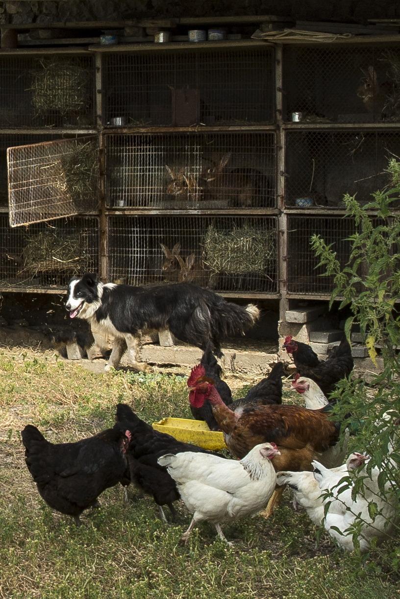 le chien les lapins les poules.JPG