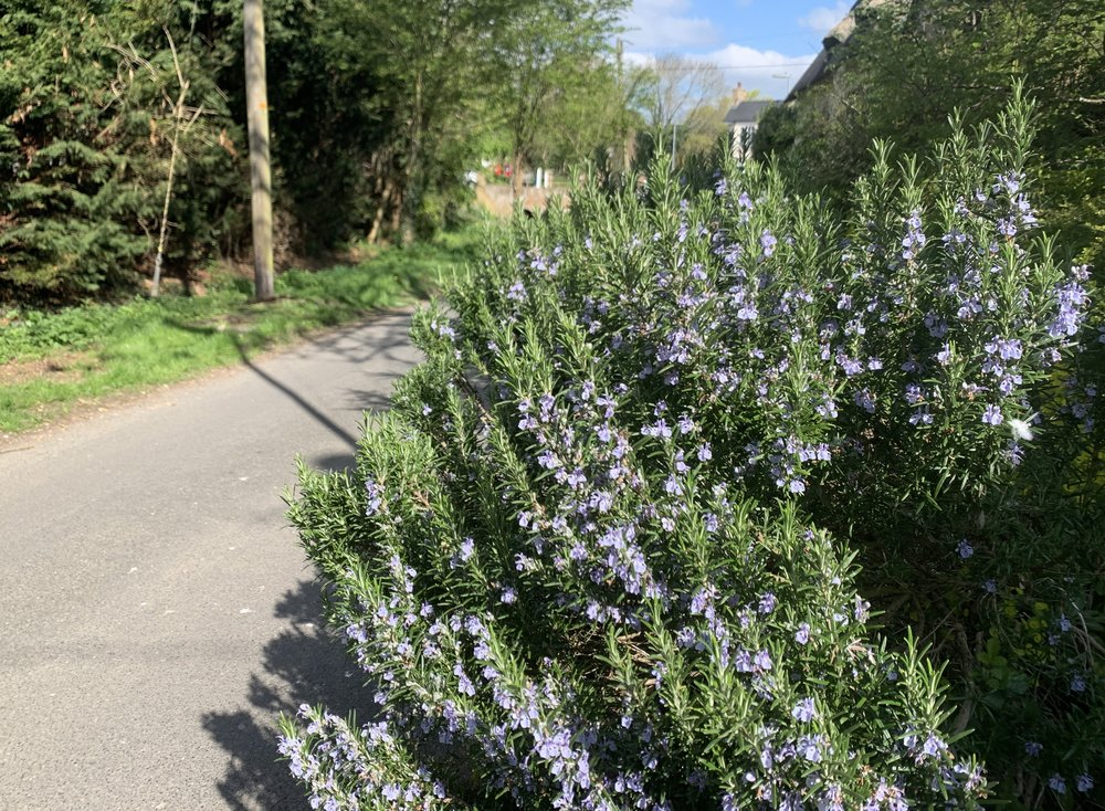 Rosemary growing on the lane.