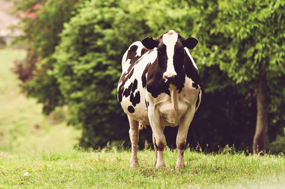 cows-9618.jpg