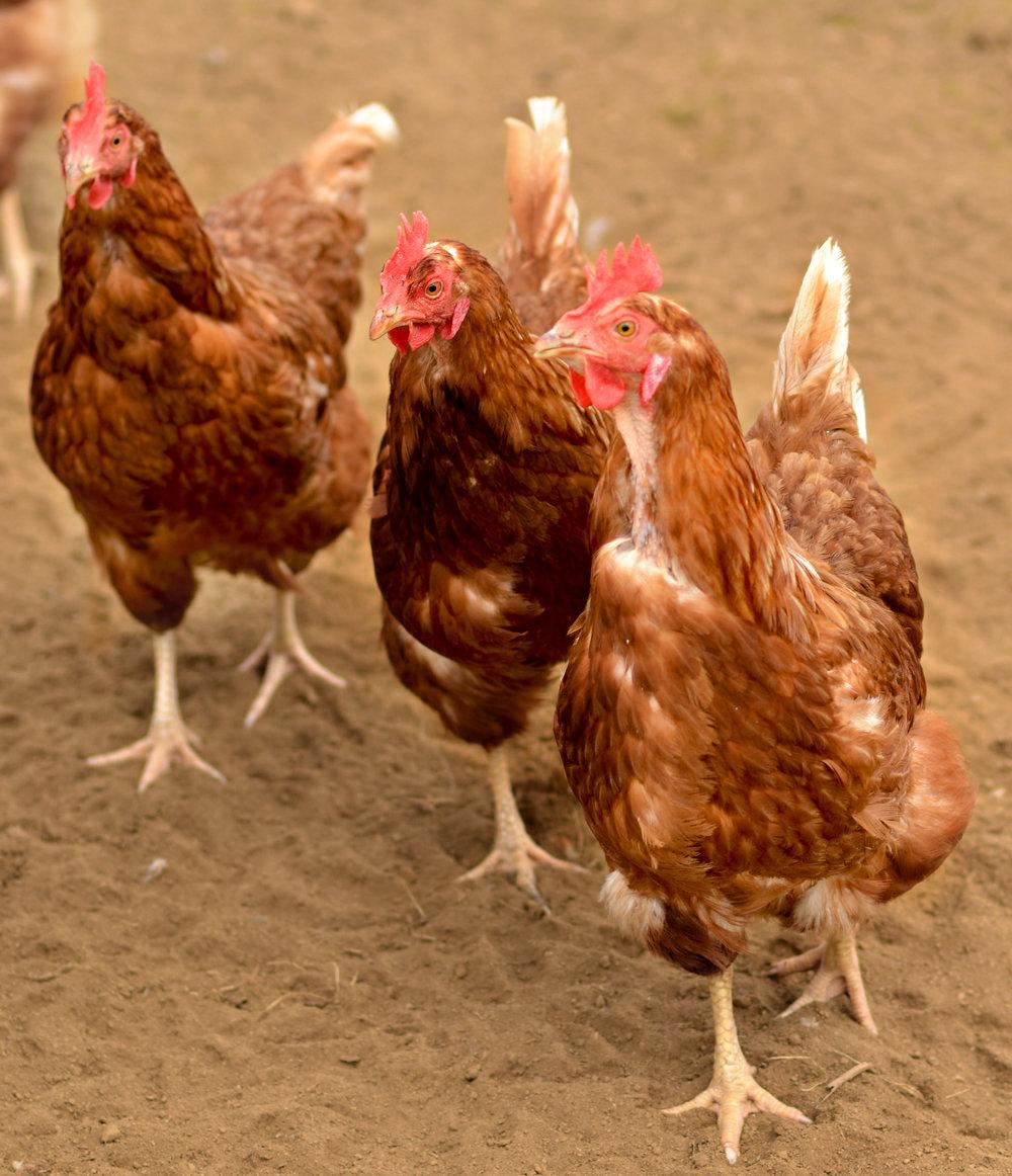 3 cool chickens.1.jpg