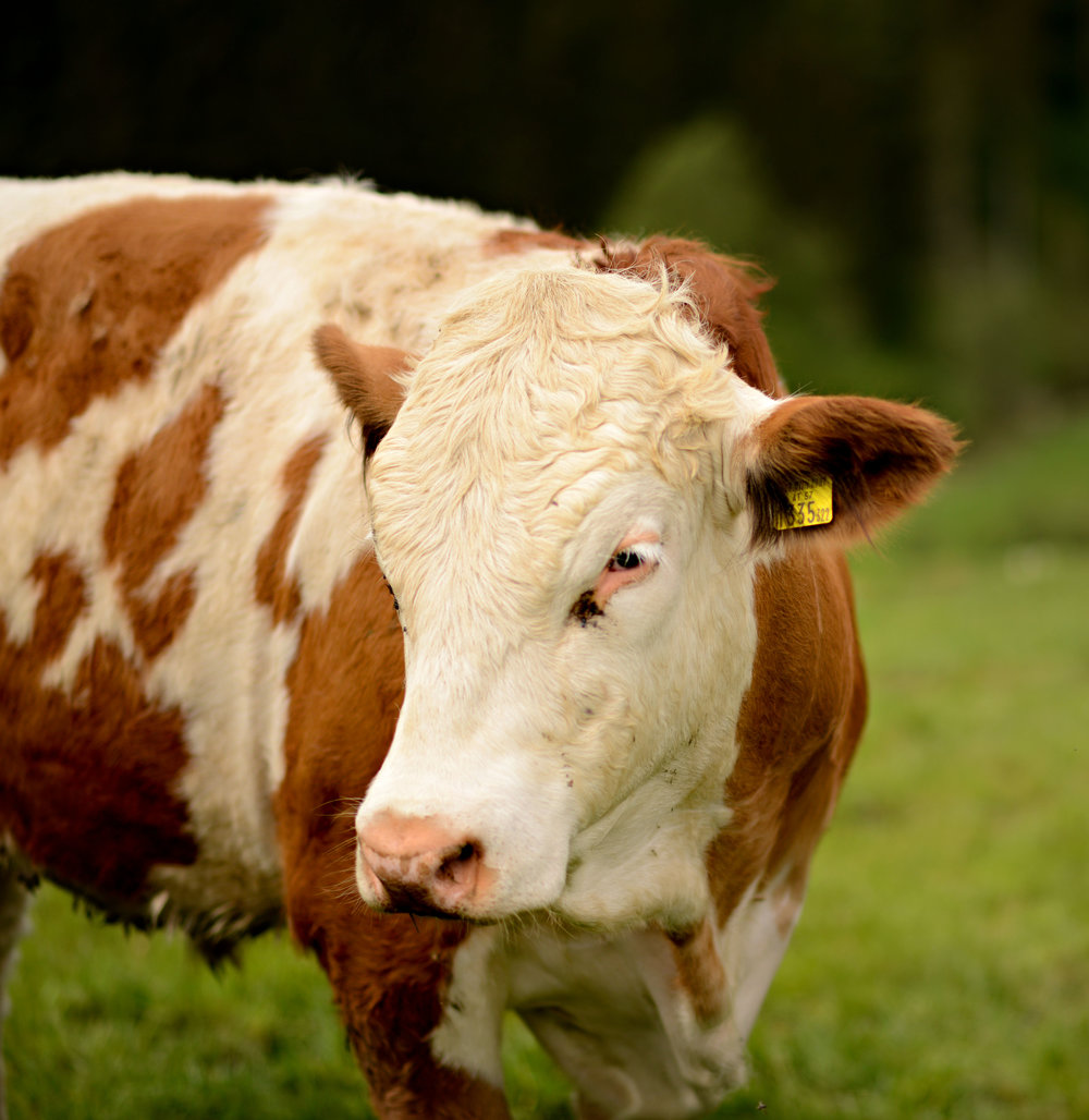 Cow edit.jpg
