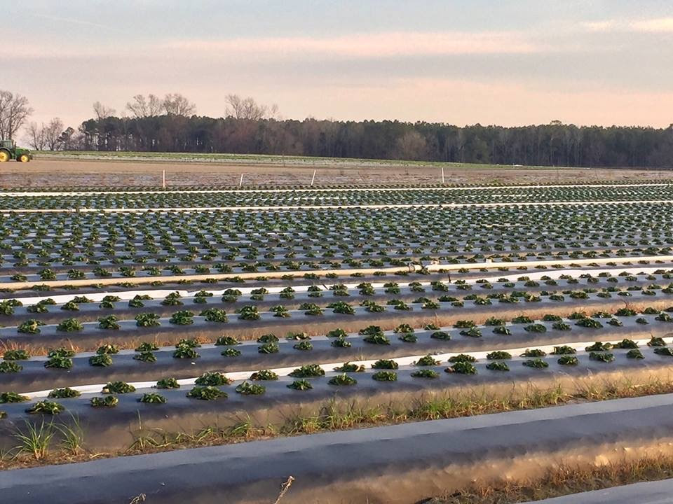 Looking at this beautiful field of strawberry plants assures us that the taste of a local ripe, red, juicy, sweet strawberry cannot be far away. As soon as these berries are ready for our tables, they will be available at our market and it should be mid April. Stay tuned as their progress is updated. Submitted photo