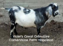 VioletGrGrandSireCFNapoleon.jpg