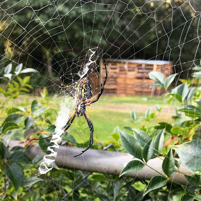 Banana spiders create some of the most beautiful and functional pest control devices, ever 🕷 . #homestead #bananaspider #orbspider #pestcontrol