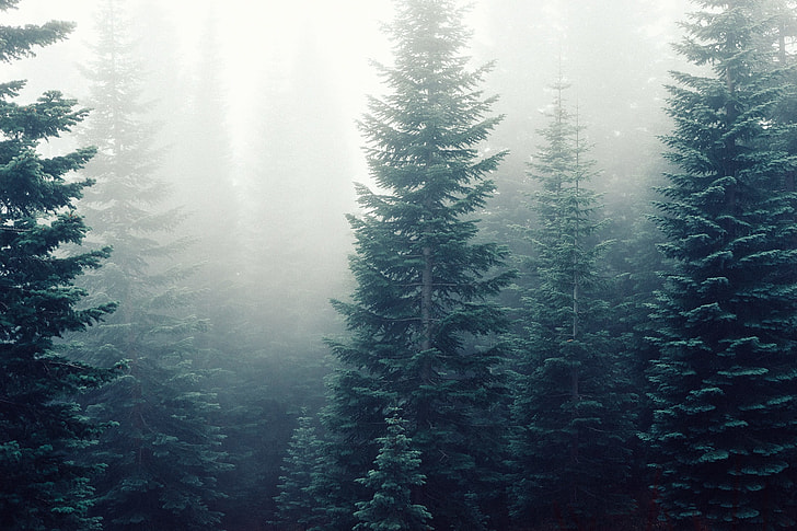 fir-trees-fog-mist-forest-preview.jpg