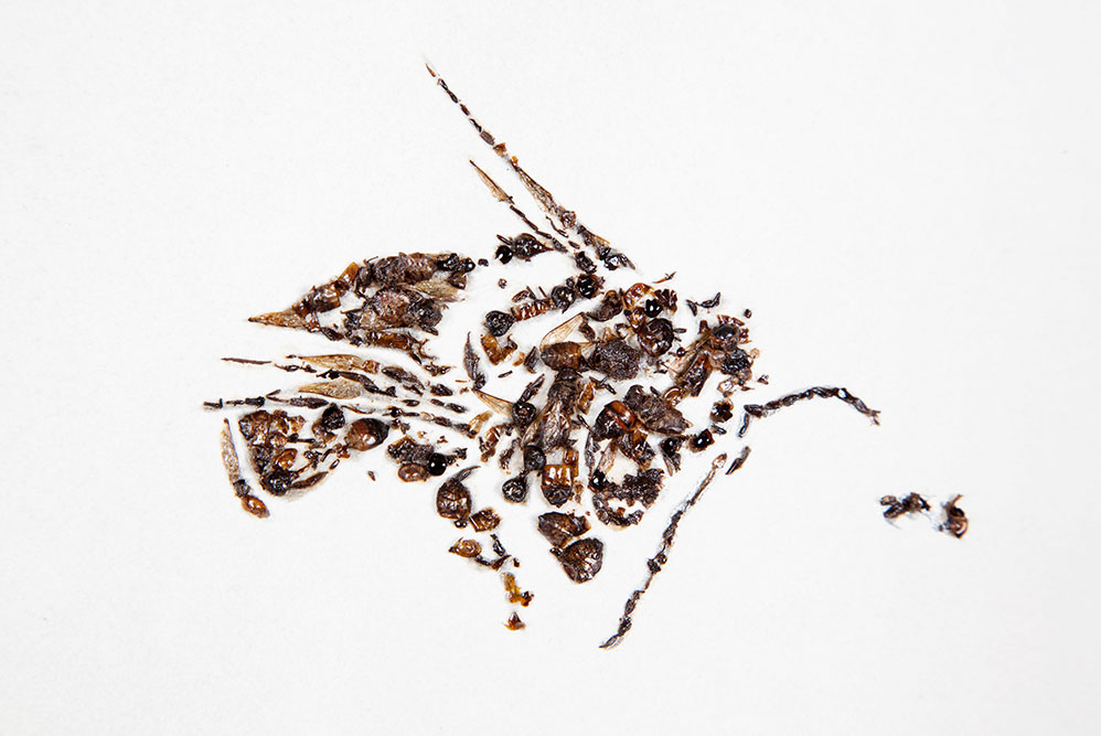 detail of Bees of Bees 4  2012  gum bichromate print with honeybees on paper  59 x 100 inches