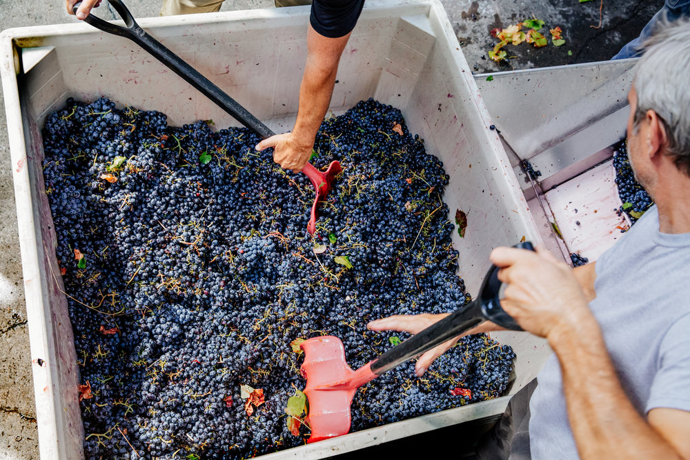 Shoveling grapes onto the conveyer at an urban winery in the East Bay