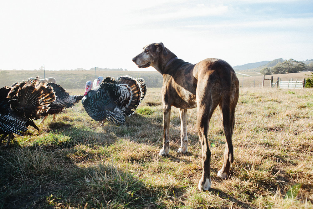 A pup on a turkey ranch with some of his feathered friends_Good_Eggs.jpg