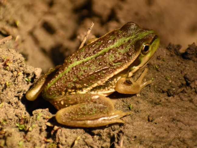 Southern Bellfrog