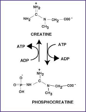 creatine.JPG