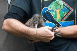 Recent arrivals of North Island brown kiwi bring the total to 26, closer to the target of 40 required for a founder population. Photo: MRT