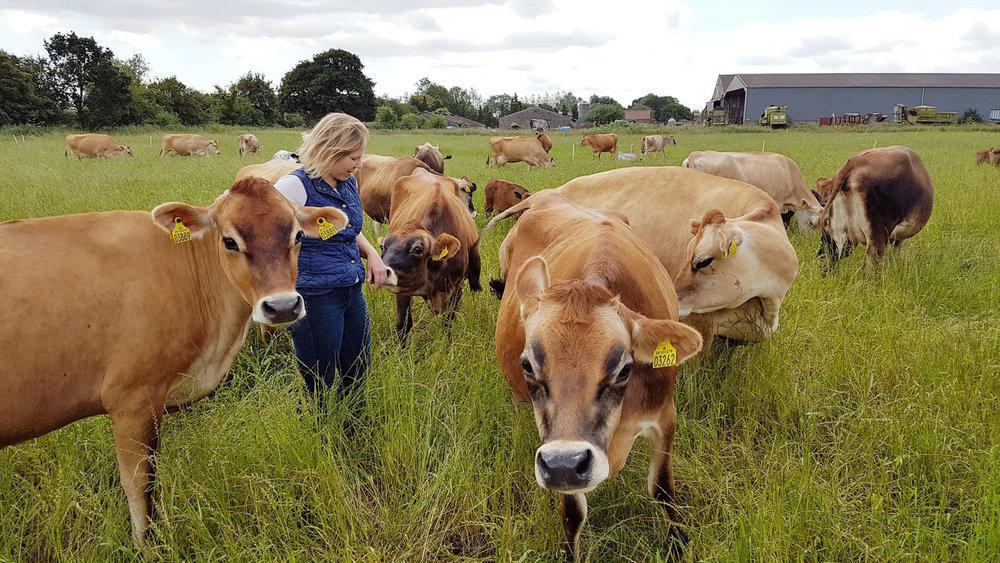 Old-Hall-Farm-Jersey-Cows.jpg