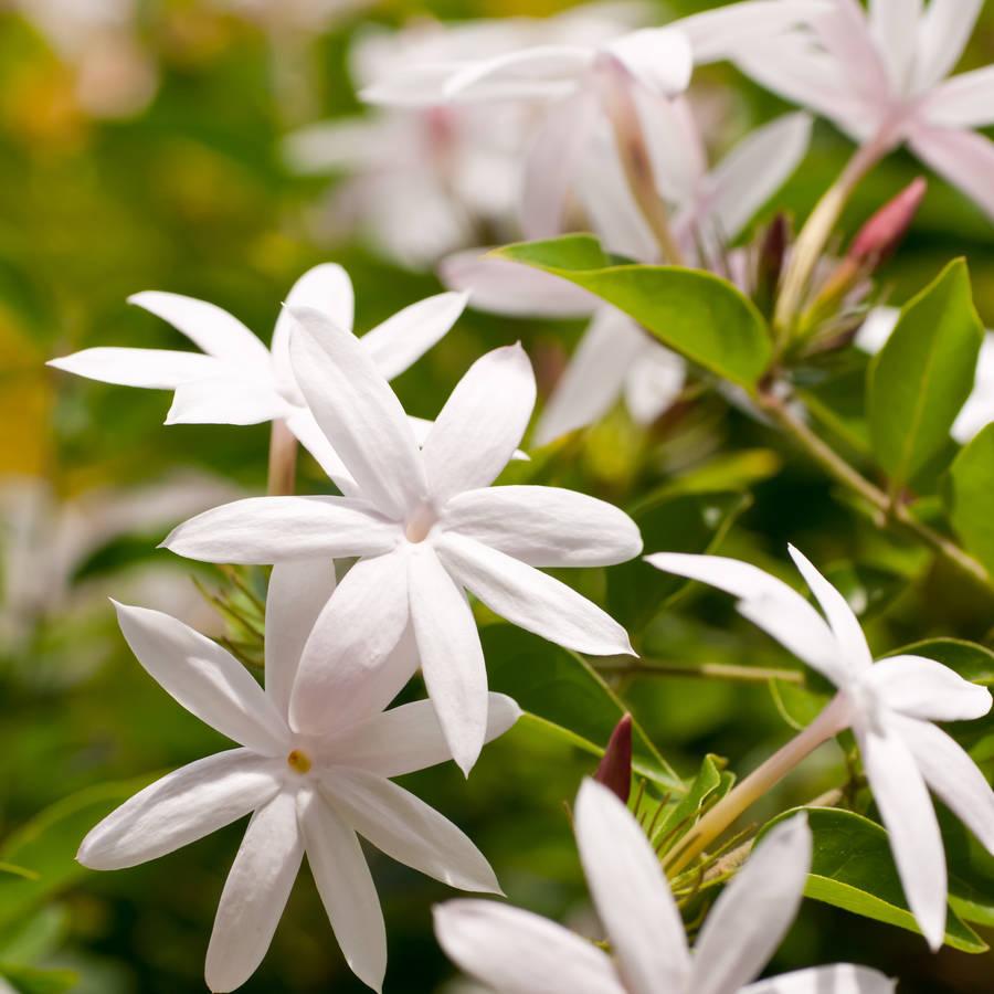 original_jasmine-plant-gift.jpg
